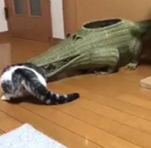 """日本一位推主亲眼看到自家猫咪被鳄鱼""""吃掉...-来自"""