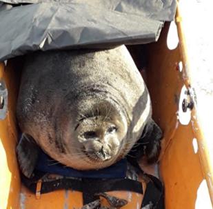 海豹迷失在茫茫冰面 幸得救援