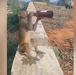 不花錢的才是最好的:猴子偷酒大飲特飲