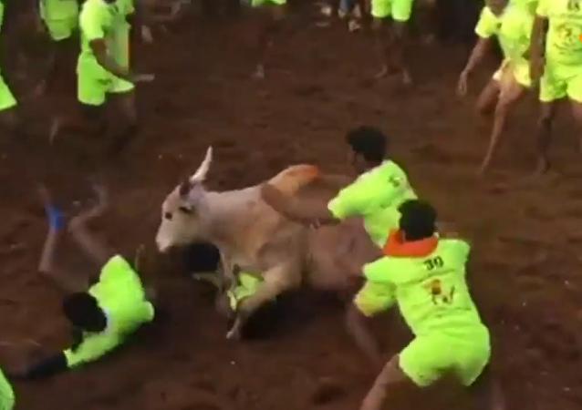 印度驯牛节