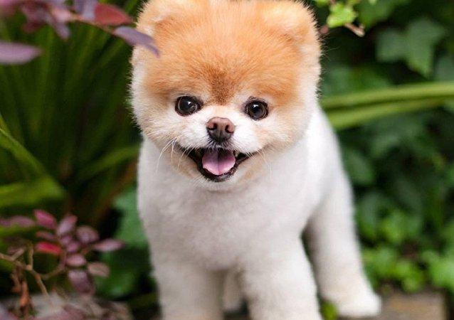 「世界最可愛狗狗」離世