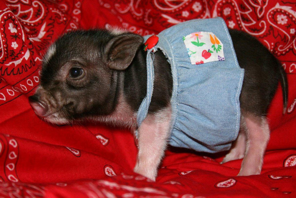 小猪如何成为家庭宠物