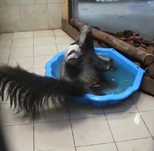 食蚁兽怎么洗澡?
