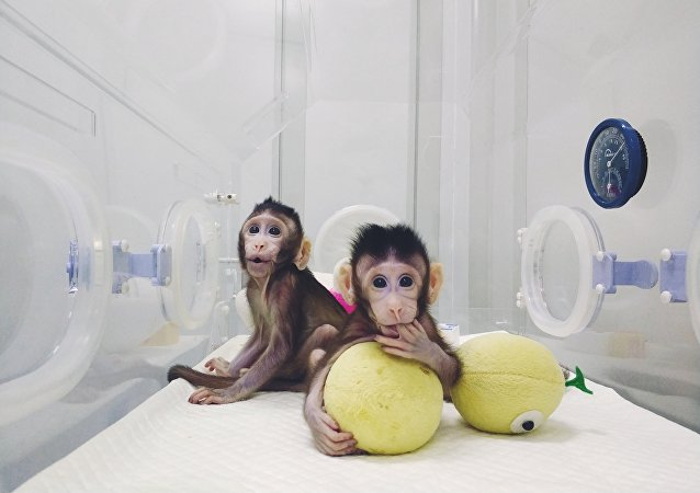 中国科学家世界首次成功构建生物节律紊乱体细胞克隆猴模型