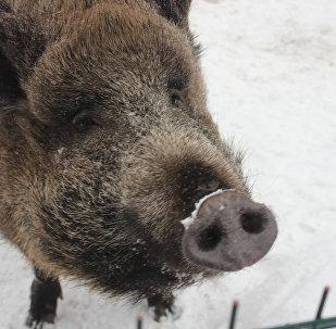 母野豬瑪莎