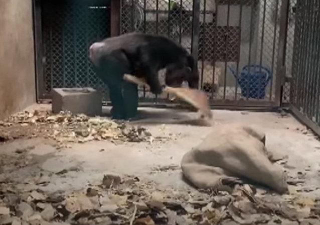 中國動物園黑猩猩學會清掃自己的館捨