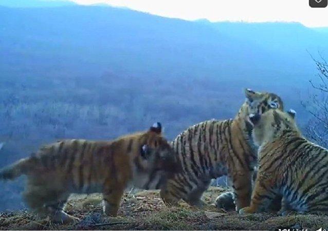 俄濱海邊疆區「豹之鄉」國家公園隱蔽攝像頭首次拍到四隻虎崽同框