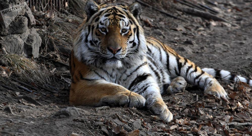 英国动物园三虎打架致一雌虎死亡