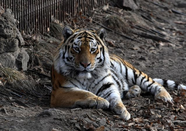 英國動物園三虎打架致一雌虎死亡