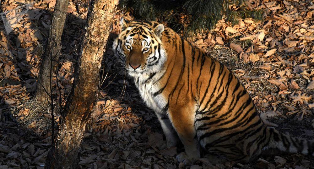 第二届保护老虎国际论坛或在俄罗斯举行