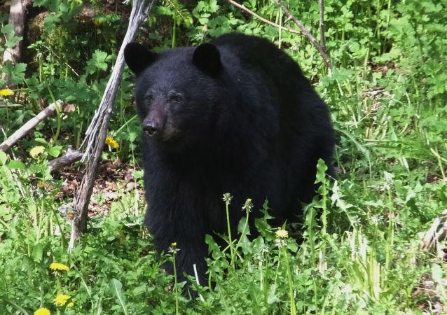 美國一在森林里迷路男孩稱熊救了他