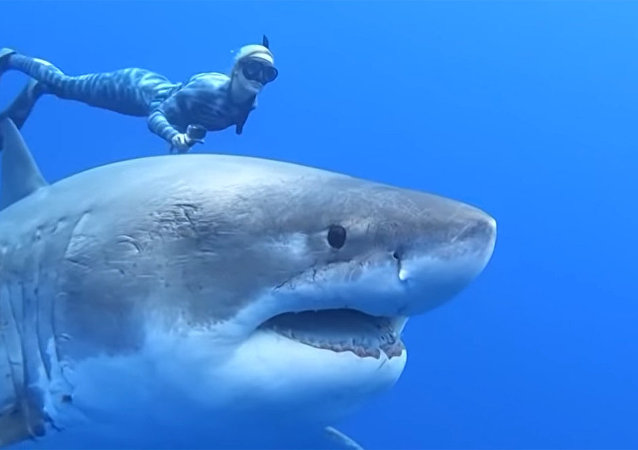 觀察史上最大一條大白鯊被視頻拍下