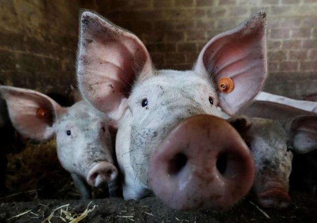 世界動物衛生組織:控制非洲豬瘟疫情應做好長期準備