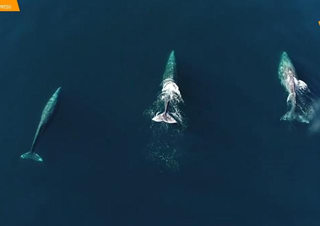 无人机航拍灰鲸游泳