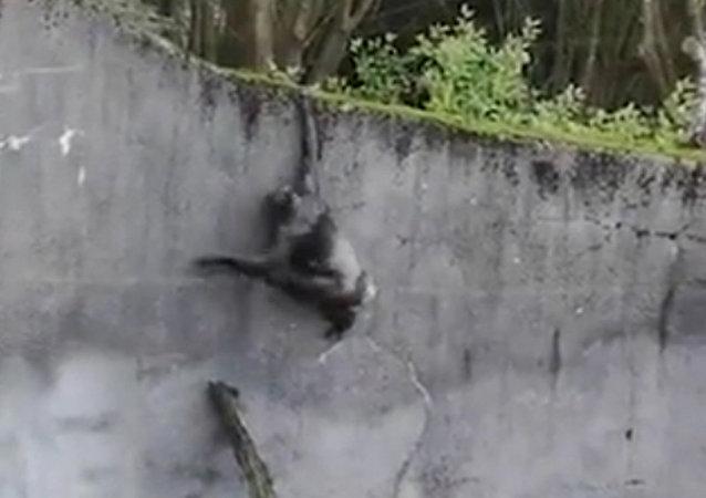 """英国黑猩猩借树枝""""越狱"""""""