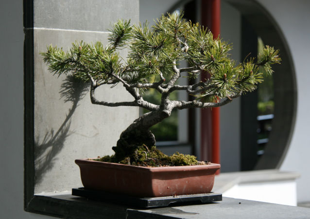 日本7盆盆景被盗 价值10万美元