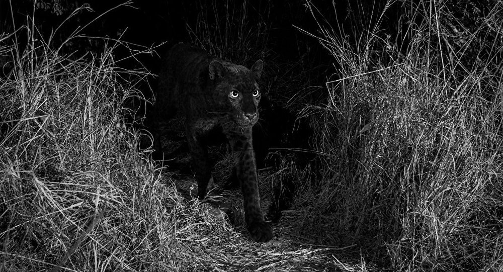 100年来首次拍到罕见的黑豹照片