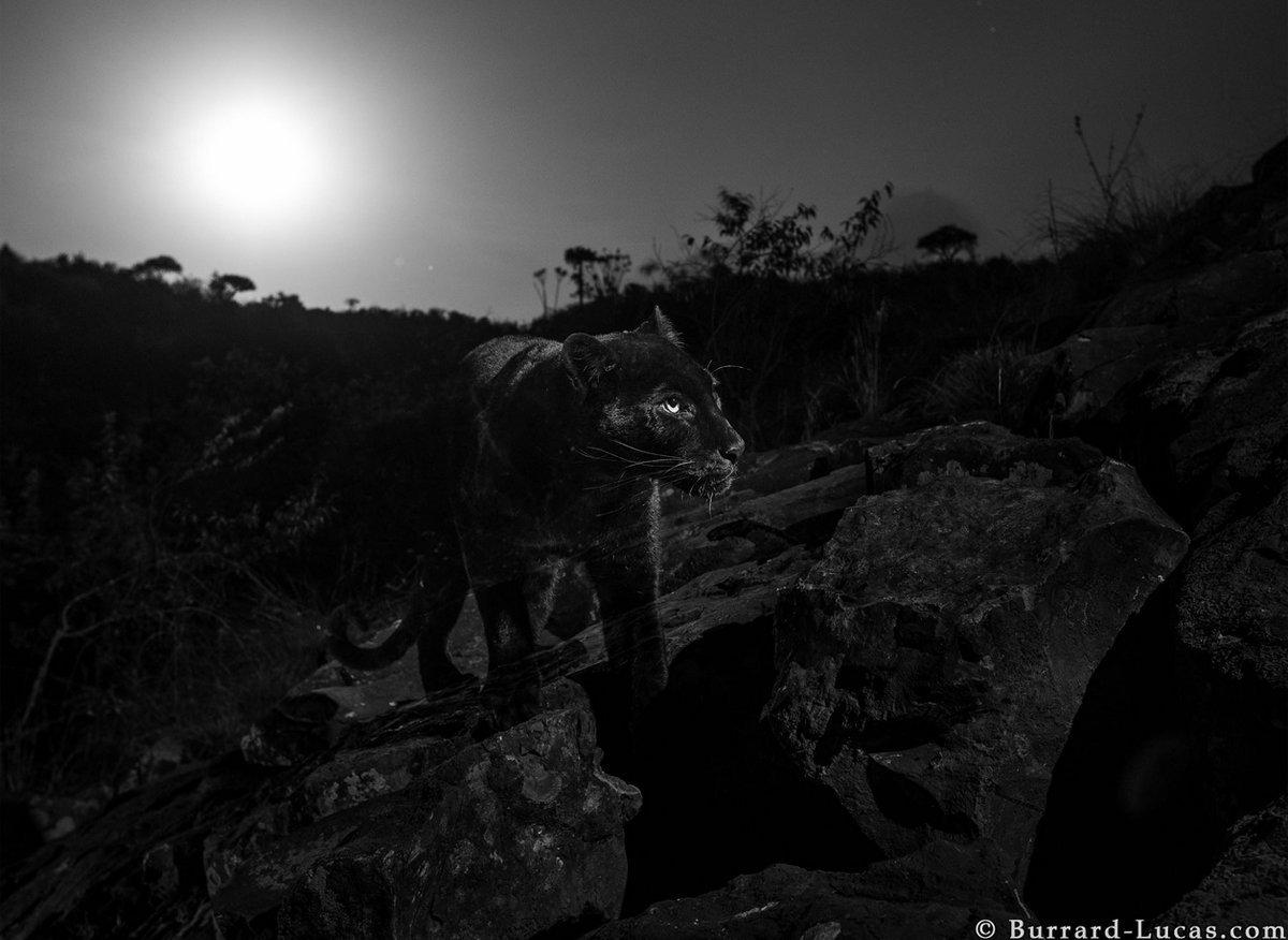 在非洲,黑豹非常罕见。拍到的照片,是近100年来首次拍到黑豹,也证明它们确实在非洲存在。
