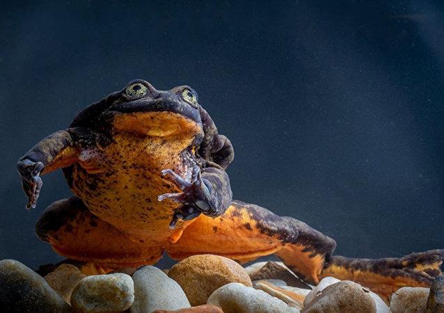 玻利維亞水蛙「羅密歐」單身十年終於等到「朱麗葉」