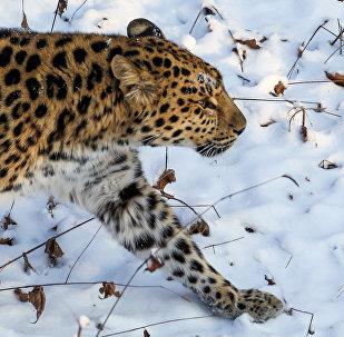 豹子给俄科学家出难题:三年拍不到全貌