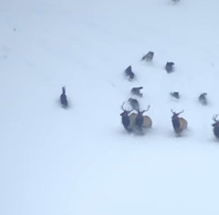 群狼和群鹿在雪山上对抗