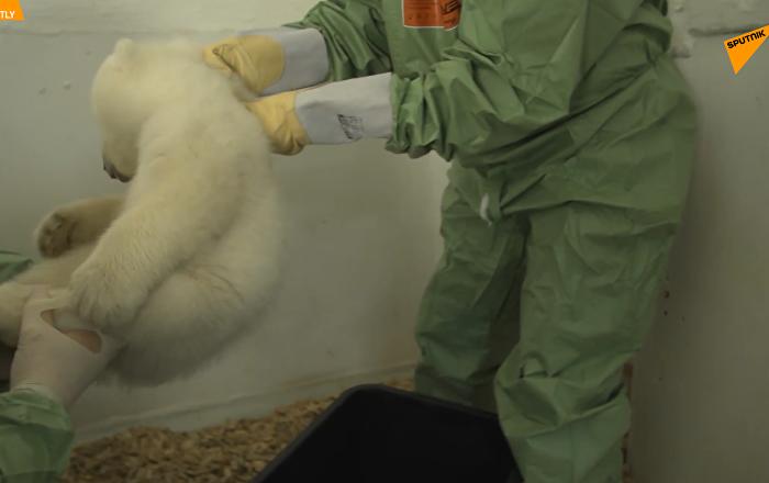 柏林动物园公布北极熊幼崽性别