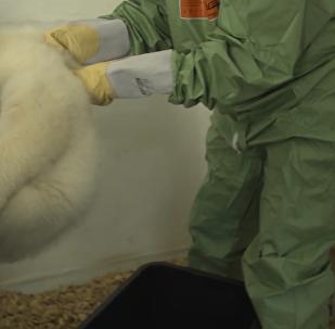 柏林動物園公佈北極熊幼崽性別