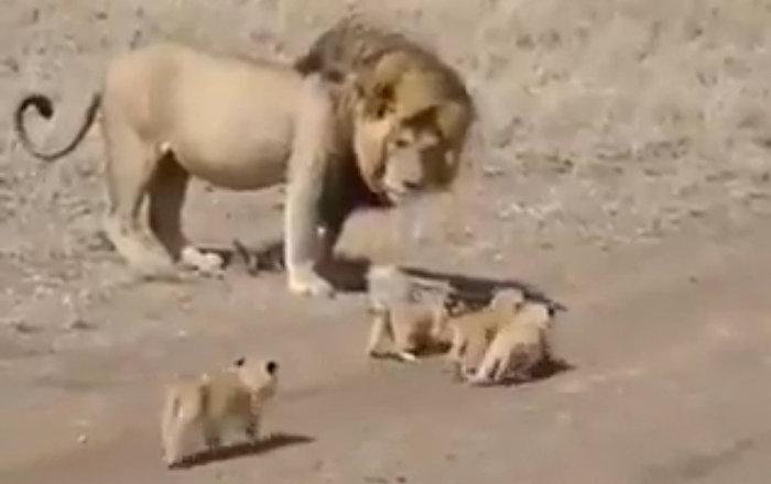獅子試圖撇下幼崽