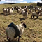 綿羊專用鞦韆!