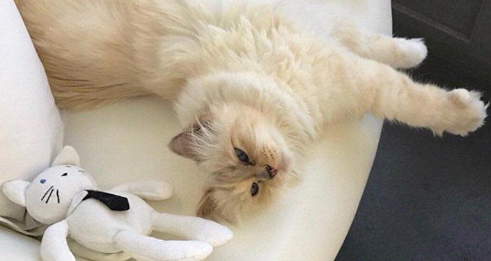 一隻名叫邱比特(Choupette)的緬甸貓有可能成為19日去世的時尚設計師卡爾·拉格斐的主要繼承人