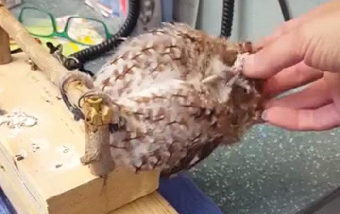 享受抚摸的猫头鹰