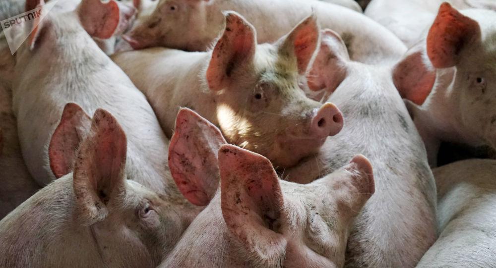韩国出现第二例非洲猪瘟确诊病例