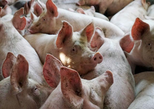 广西防城港市在非法运入生猪中排查出非洲猪瘟疫情