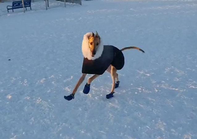 狗狗雪地撒欢儿 尽享好天气