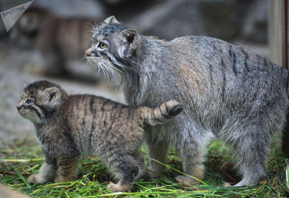 新西伯利亚动物园里一只雌性兔狲和它的宝宝