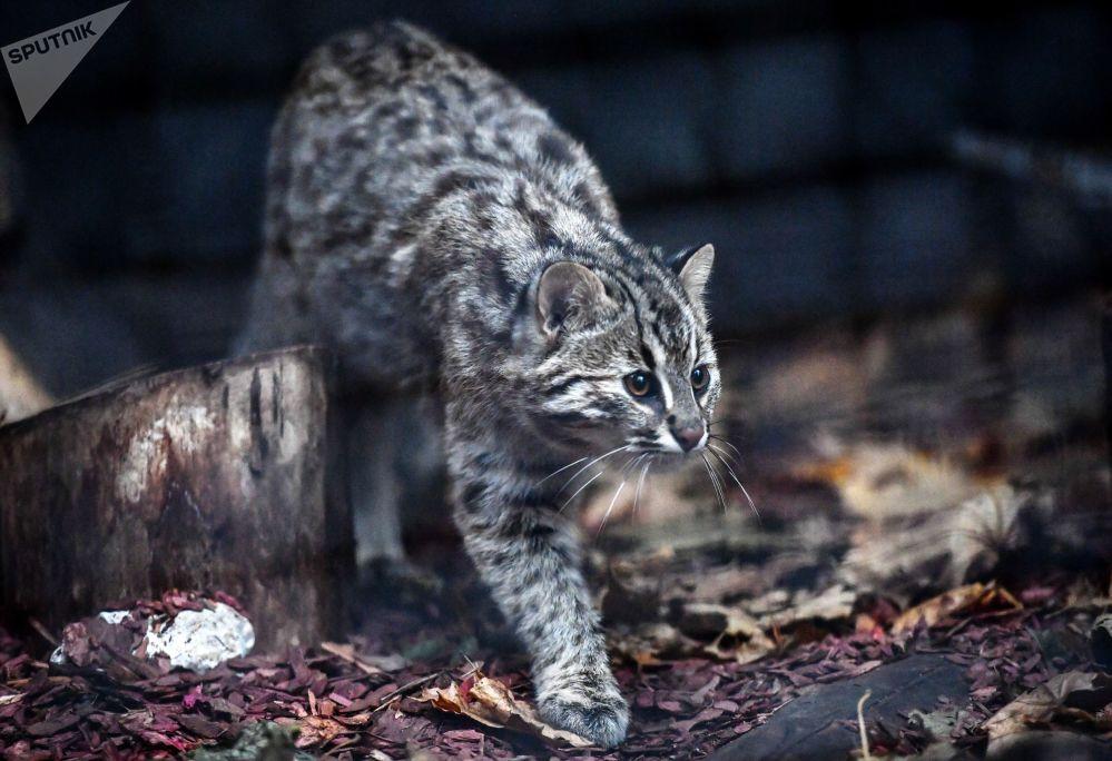 莫斯科动物园里五个月大的雌性阿穆尔豹猫