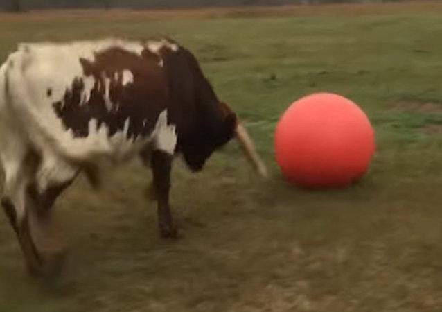 得克萨斯长角牛失去心爱的球
