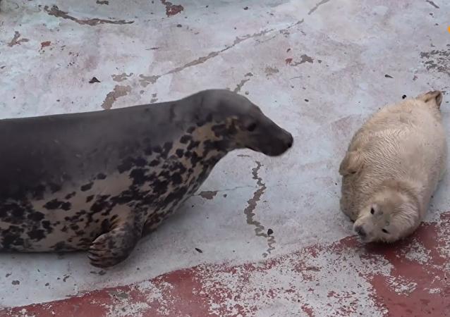 三只小海豹在加里宁格勒动物园出生