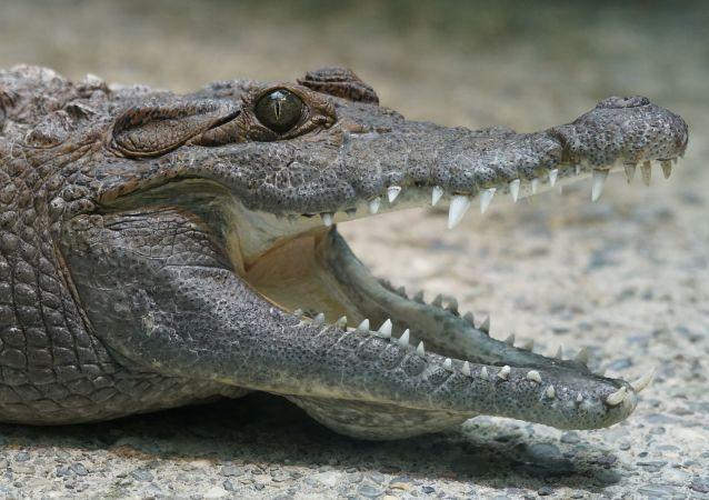 食狗巨鳄被判入狱