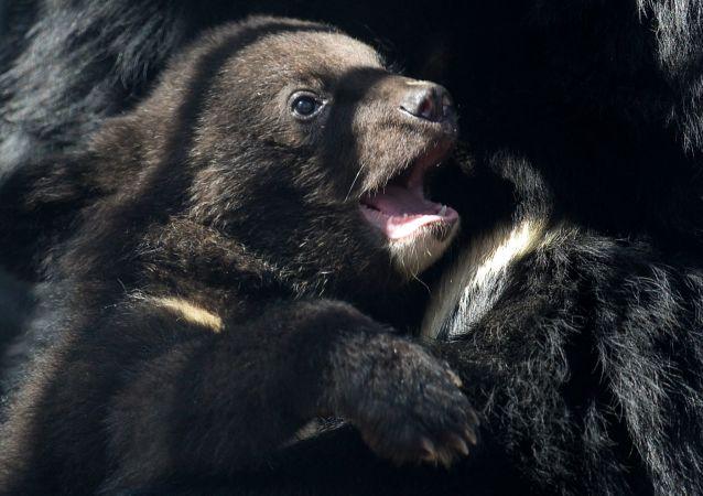 滨海边疆区发现两只弱小无母的熊崽(视频)