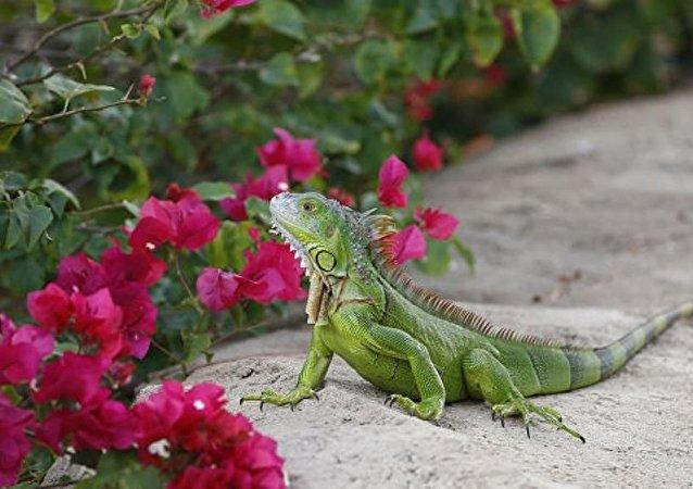 美國男子在自家馬桶發現一隻綠色蜥蜴