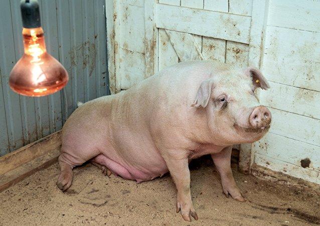 不孕症母猪接受机器人手术后成功产子 喂奶视频曝光
