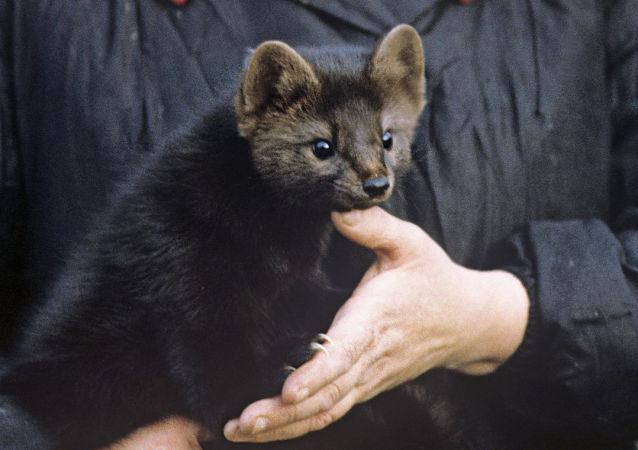 堪察加一自然保护区检查员住所出现一只紫貂