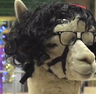 丹佛举办羊驼展