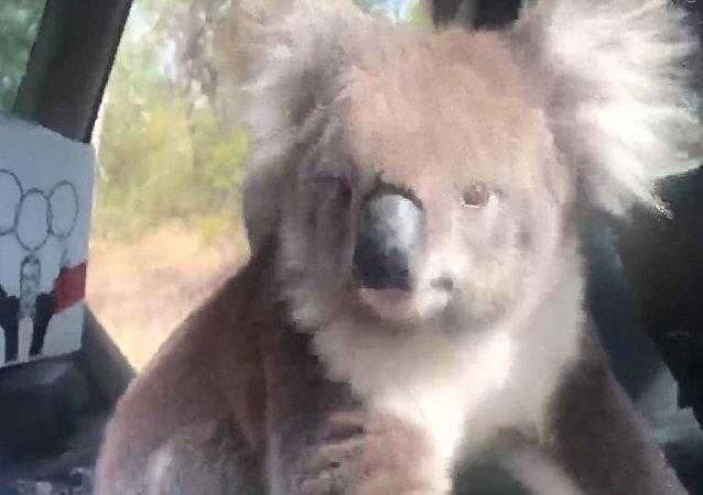 """澳大利亚人拍下考拉如何""""占着""""他的车"""