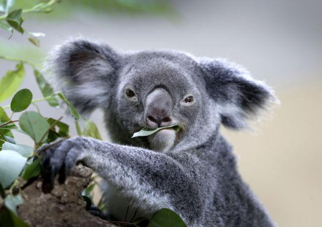 澳大利亚宣布考拉濒临灭绝