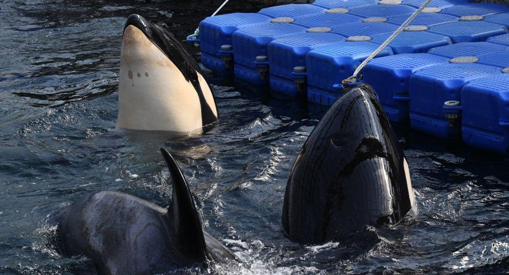 """克宫:普京定期收到滨海边疆区""""鲸鱼监狱""""情况的报告"""