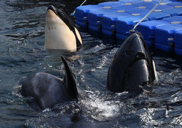 俄捕撈公司:向中方出售俄虎鯨的合同尚未解除