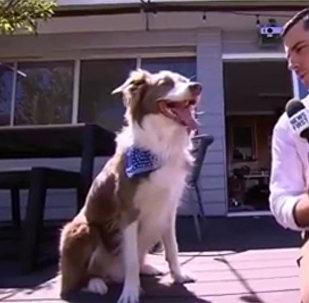 网红狗狗爆笑接受采访