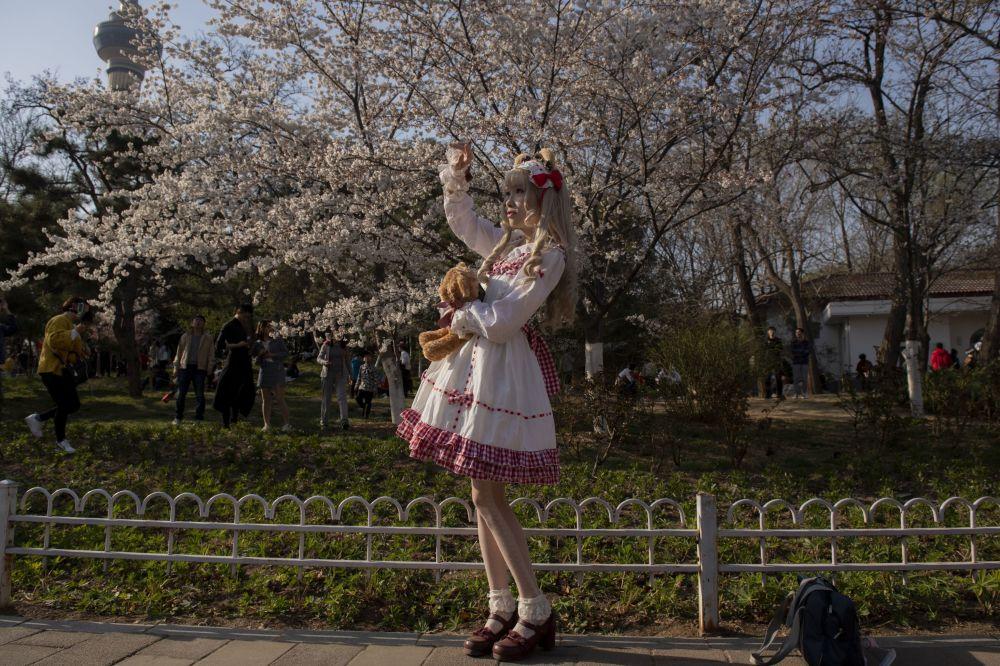 世界各地的櫻花競相綻放